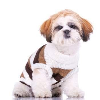 white Shih Tzu puppy with brown ears