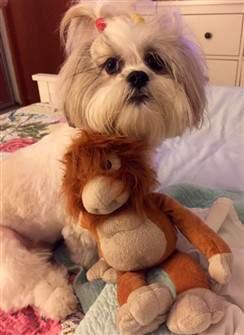 cute shih tzu with teddy bear