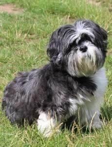 cute adopted Shih Tzu
