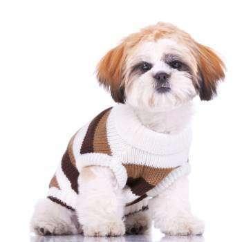 cute Shih Tzu puppy with shirt