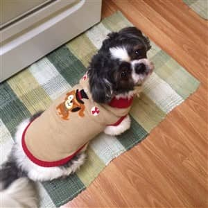 Cute Shih Tzu in sweater