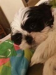 white-black-shih-tzu-puppy