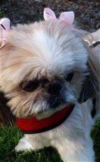 14 year old Shih Tzu dog, senior