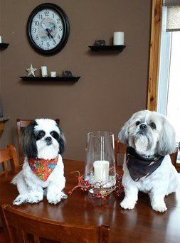 Shih Tzu Senior Care