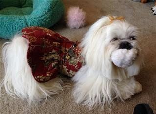Shih Tzu dress harness - clothing with harness