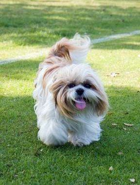 cost of shih tzu expected cost of a shih tzu puppy 7043