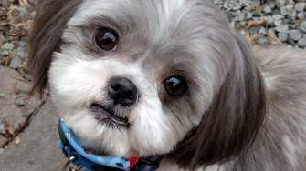 The Cutest Shih Tzu Photo Gallery