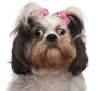 Shih Tzu looking happy and healthy