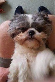 little Shih Tzu puppy