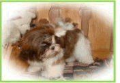 Iowa Shih Tzu breeder