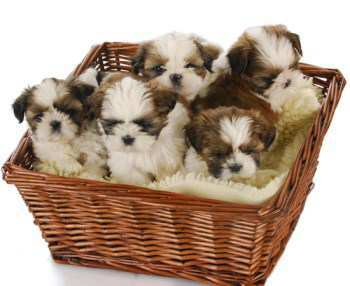 litter of Shih Tzu puppies