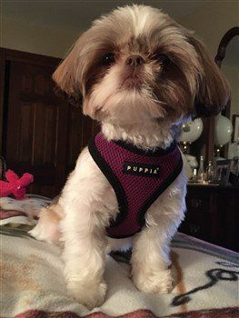 liver colored Shih Tzu with brown nose