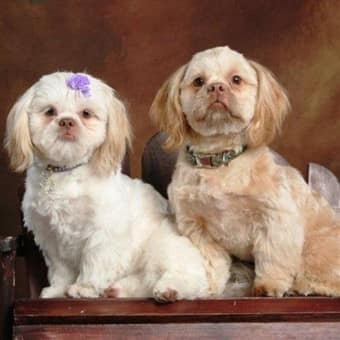 male-and-female-shih-tzu-dogs