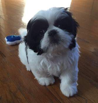 Black And White Shih Tzus