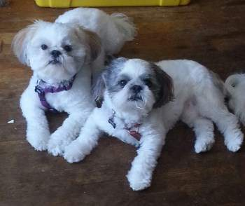 Two Shih Tzu puppies together