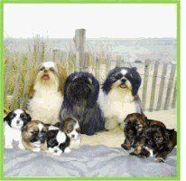 Personally Recommended Shih Tzu Puppy Breeders