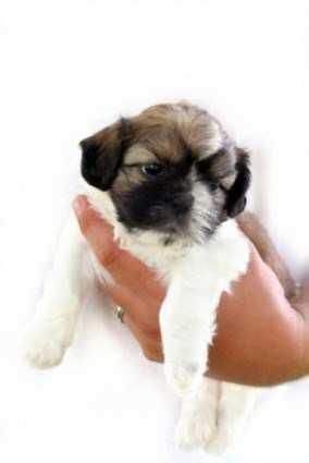 newborn Shih Tzu puppy