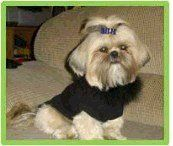 New Jersey Shih Tzu breeder