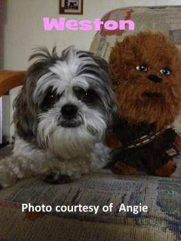 Shih Tzu with Chewbacca pillow