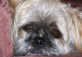 Shih Tzu looking a bit sad