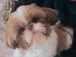 South Dakota Shih Tzu Breeder