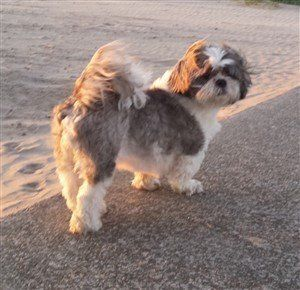 senior Shih Tzu, 9 years 6 months old