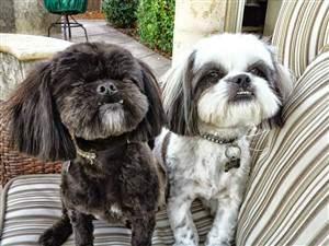 shih tzu dogs - one black-one-white.