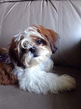 Shih Tzu care photo, 1