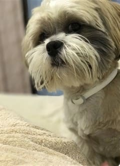 shih tzu coat of double hair