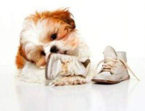 Shih tzu puppy chewing on shoe