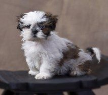Shih Tzu puppy with shoes