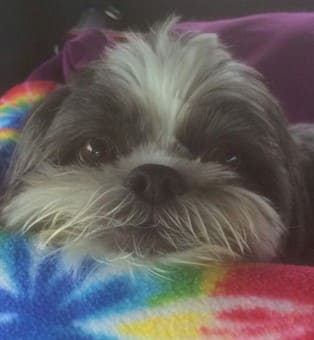 shih tzu with head on blanket