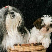 two Shih Tzu dogs in basket