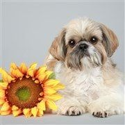 Shih Tzu puppy near sunflower