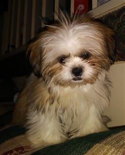Shih Tzu allergy photo, puppy