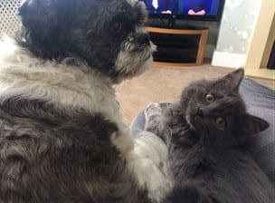 Shih Tzu and Cats | Creating a Happy Household