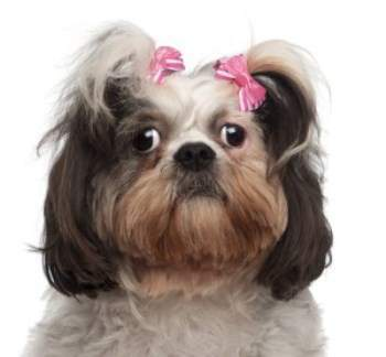Shih Tzu not barking