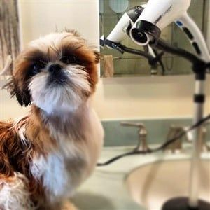Giving Baths To A Shih Tzu Proper Bathing Techniques