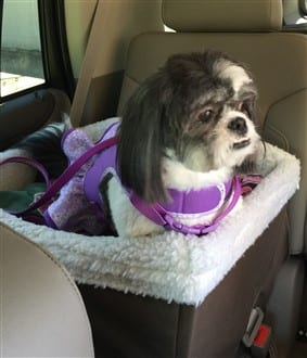 Shih Tzu car seat, raised booster