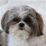 cute Shih Tzu close up