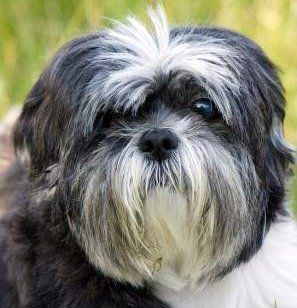 Shih Tzu close up