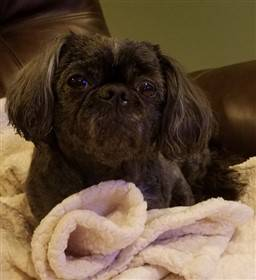 shih-tzu-color-at-6-years