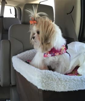 Shih Tzu dog in safe car seat