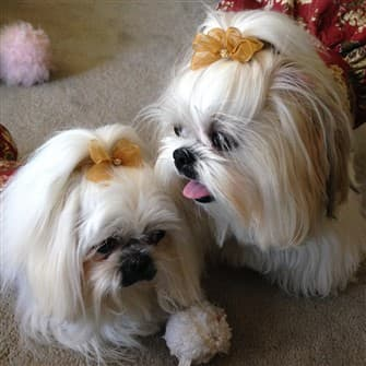 Shih Tzu Topknots And Bows How To With Photos
