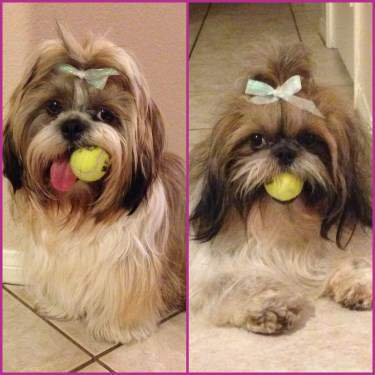 Shih Tzu exercising indoors