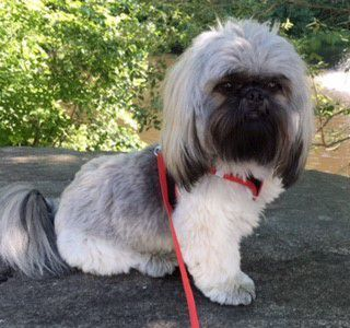 shih tzu pictures of haircuts shih tzu haircuts haircuts models ideas 3473 | shih tzu hairstyle full head 320x300