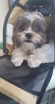 shih-tzu-in-airplane-carrier-bag