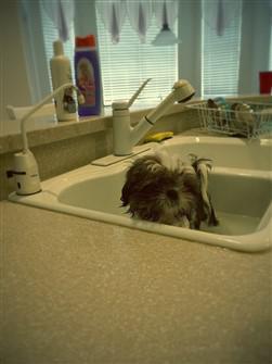 Shih Tzu getting a bath in kitchen sink