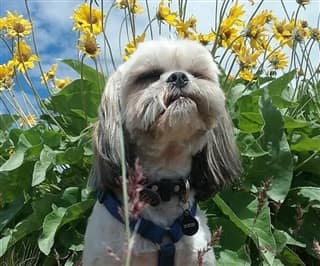 Shih Tzu Summer Heat Issues And Care Guidelines