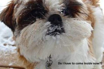 Shih Tzu outside in the snow